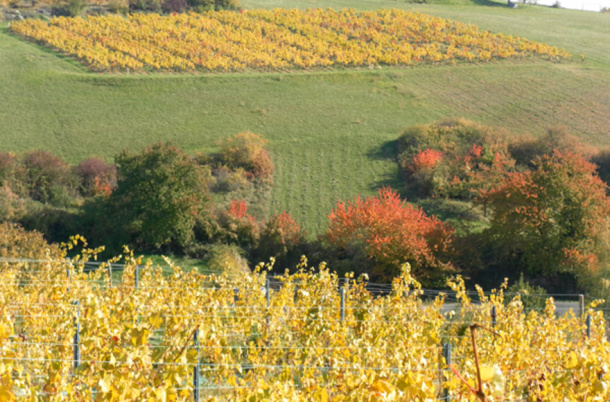 Parcelle Chardonnay Cogny